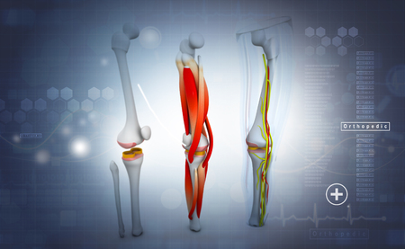 3d render of human leg, muscles, anatomy