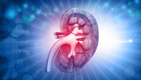 Anatomía del riñón humano sobre fondo abstracto. Ilustración 3d