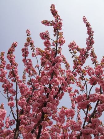 national fruit of china: Plum blossom in China