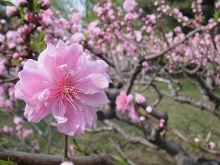 national fruit of china: Plum blossom