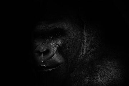 gorilla with black background