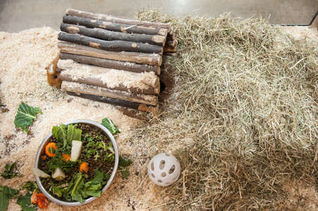 cavie: Due porcellini d'India con il cibo in Pen
