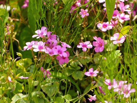 Oxalis flowers and a small spider
