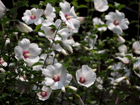 Rose of Sharon flowers