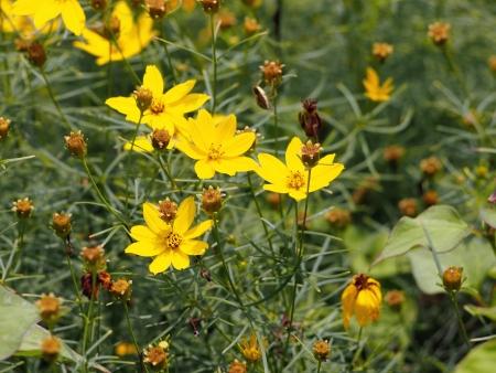 Yellow Cosmos flowers Stock Photo - 15893266