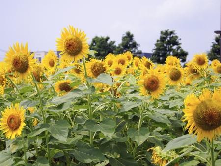 Flower of sunflower Stock Photo