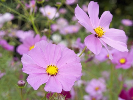 Cosmos flowers      Stock Photo - 15948550