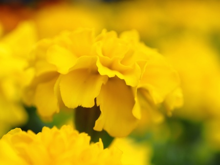 Yellow begonia flower Stock Photo - 15948703