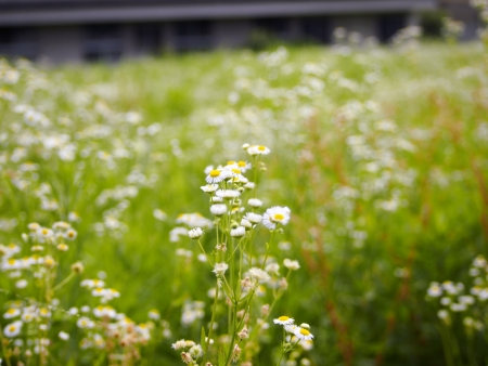 Fleabane flowers Stock Photo - 16083753