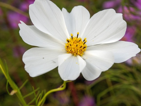 Cosmos flowers Stock Photo - 16189613