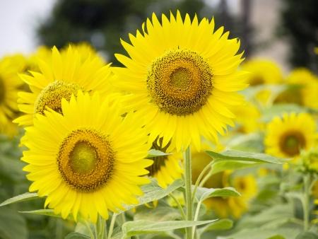 Flower of sunflower Stock Photo - 16189625