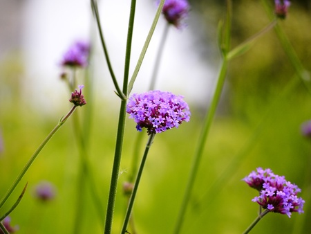 Flower of Verbena bonariensis Purple Top
