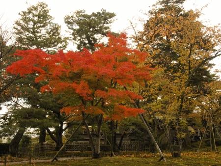 foliage of Kenrokuen  Stock Photo