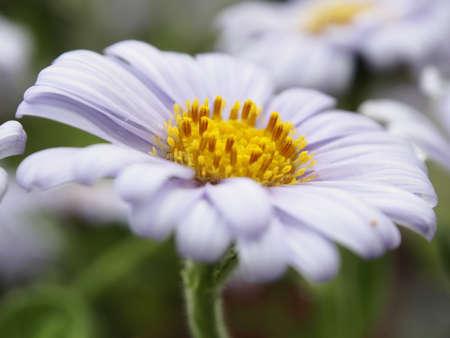 flower of Dharma chrysanthemum