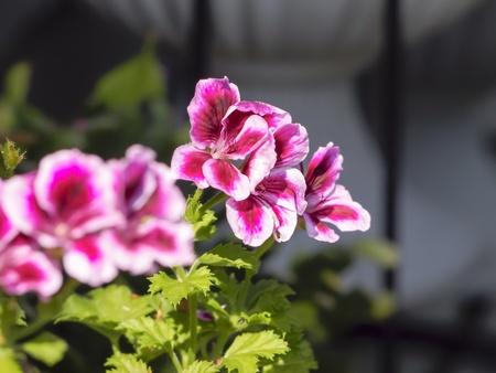 Flower of Pelargonium