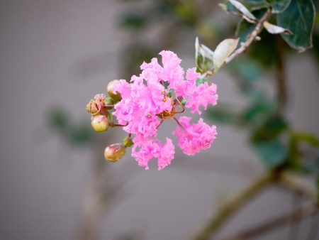 Crape myrtle flower Stock Photo - 16392002