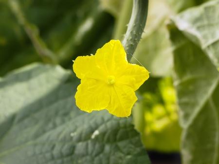 Cucumber flower Stock Photo