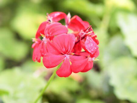 Red geranium Stock Photo