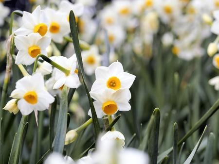 flower of Echizen narcissus
