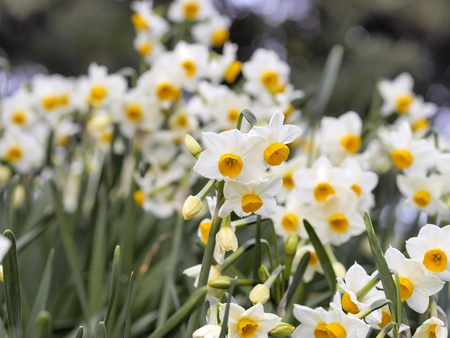flower of narcissus photo