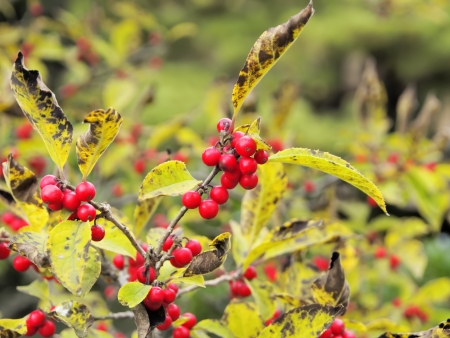 winterberry: Japanese winterberry