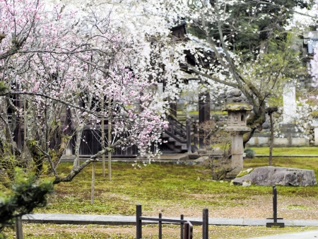 Cherry blossoms at Japanese temple