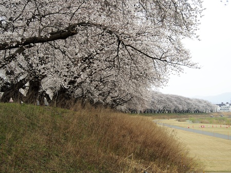 Cherry blossoms, at Embankment Asuwa river