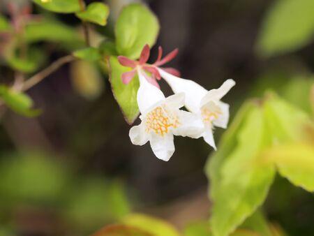 twin-flowering abelia