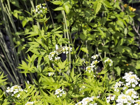 sou: cardamine leucantha with white butterfly