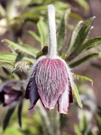 nodding: nodding anemone
