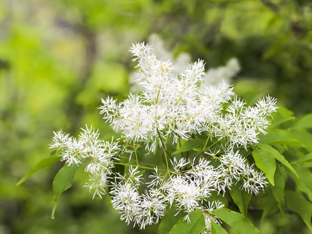 flowers of Fraxinus