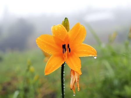 broad dwarf day-lily Stock Photo