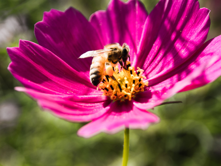 Cosmos and bee Stock Photo