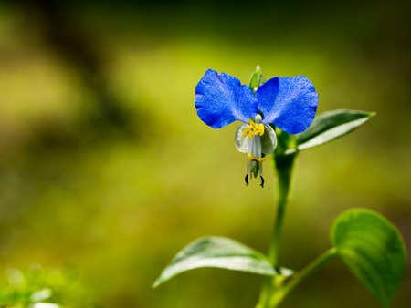 asiatic: Asiatic dayflower