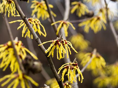 Yellow flower of witch hazel