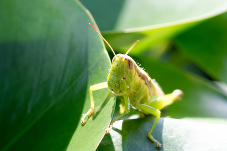 Migratory locust grasshopper closeup