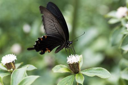 Papilio macilentus butterfly Stock Photo