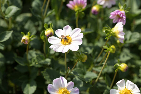 Dahlia and syrphid