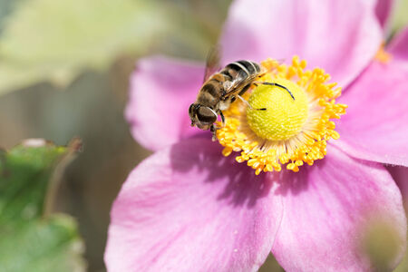 Anemone hupehensis var. japonica and syrphid Stock Photo