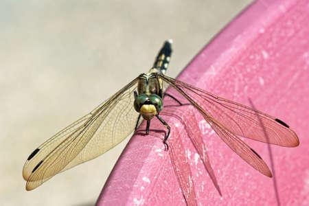 Mugiwara Dragonfly