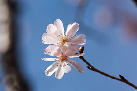 Winter-blooming cherry tree