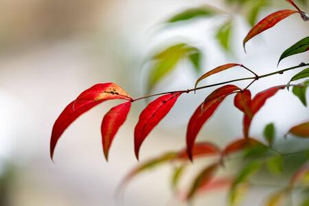 Leaves of Nandin