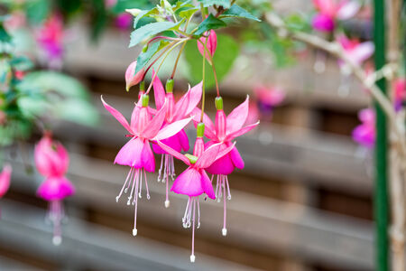 fuchsia: Fuchsia