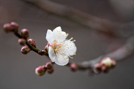 japanese apricot flower: Japanese apricot
