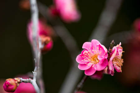 Red Japanese apricot Stock Photo