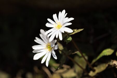 Anemone keiskeana