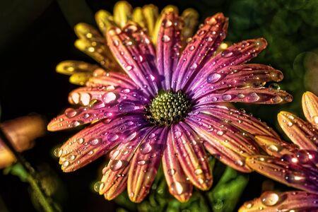 Osteospermum Stock Photo