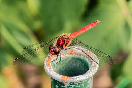 Red dragonfly staying on a rusty pipe