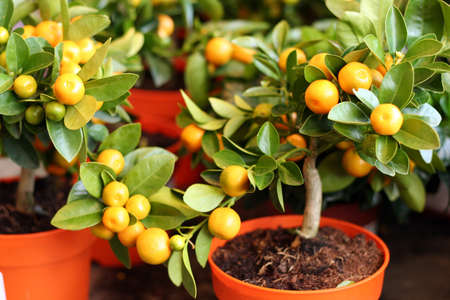 decorayive interior tangerine trees with fruits on them photo