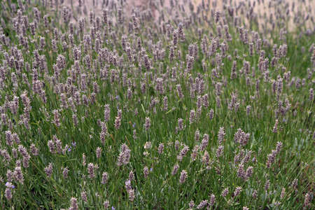 beautiful lavenders in a field, marseille, provence photo